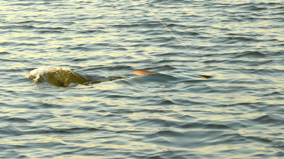 South carolina tarpon on the fly charleston fly fishing for Charleston fly fishing